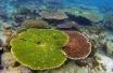 Koloni karang acropora tabulate di perairan Sapropen, Raja Ampat, Papua Barat, Sabtu (23/8). Kepulauan Raja Ampat merupakan kawasan segitiga karang dunia (Coral Triangle) dengan pesona keindahan bawah laut yang menjadi daya tarik utama wisatawan. ANTARA FOTO/Prasetyo Utomo/ama/14