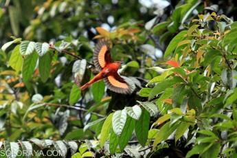 Burung Sepah Gunung (Pericrocotus Miniatus) terbang untuk mencari makan di kawasan hutan Taman Nasional Gunung Halimun Salak, Cikaniki, Bogor, Jawa Barat, Selasa (29/10). Maraknya kontes burung di sejumlah kota besar membuat banyaknya perburuan burung secara liar di sejumlah area Taman Nasional tersebut. ANTARA FOTO/Muhammad Adimaja/ed/pd/14