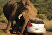 Gajah merusak mobil