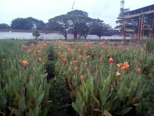 Kebun bunga PG Tasikmadu